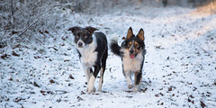 Mac & Chip (Bas Bloemsaat) Tags: winter dog snow cold pair sheepdog running bordercollie