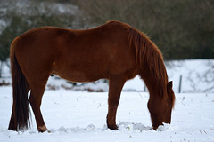 Snow Snack (JDWCurtis) Tags: horse nature animal southwales wales nationalpark breconbeacons brecon powys breconbeaconsnationalpark