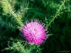 P023-2016 (horacio marin) Tags: flor campo silvestre cardo efectoorton