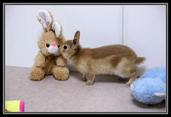 32 (mensore) Tags: brown rabbit bunny san ichigo netherlanddwarf