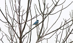 Transcontinental Bluebird (martytdx) Tags: male birds lifelist pa bluebirds rarity mountainbluebird thrushes turdidae sialia sialiacurrucoides tinicumtownship