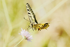 swallowtail (Bill Kirby1) Tags: france butterfly languedoc 2015