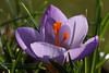 What a Beauty! (Cobra_11) Tags: flower macro closeup canon spring blossom crocus bloom bud blume makro canoneos ef50mmf18ii frühling frühjahr ef50mm118ii canoneos450d digitalrebelxsi