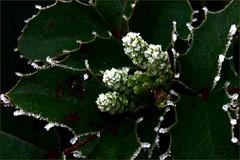 Frostnacht (blasjaz) Tags: winter frost pflanze pflanzen botanik mahoniaaquifolium berberidaceae mahonie eiskristalle bltenknospen blasjaz