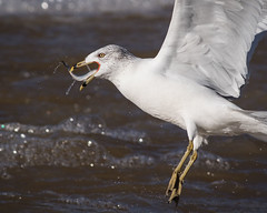 Ring-billed Gull with Fish (Gadwall85) Tags: fish illinois fishing dam gull prey carlyle ringbilledgull clintoncounty kaskaskiariver carlylelake canonef400mmf56lusm canon7dmarkii