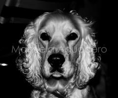 #curro #2009 #perro #dog #cocker #cockerspaniel #animal #miprincipe #love #photography #photographer #sonyalpha #sonyalpha350 #sonya350 #alpha350 (Manuela Aguadero) Tags: dog love blancoynegro animal photography photographer wb bn perro cocker cockerspaniel whiteandblack curro sonyalpha sonyalpha350 sonya350 alpha350 miprncipe