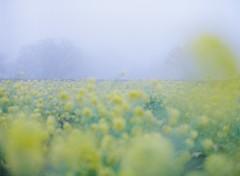 Blur (Saori_) Tags: flower film japan foggy mamiya645   y