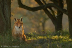 Tribute to a Lady (hvhe1) Tags: wild holland nature animal lady wildlife dunes thenetherlands fox tribute awd vixen fuchs waterwingebied vulpesvulpes amsterdamsewaterleidingduinen rnard hvhe1 hennievanheerden specanimalphotooftheday