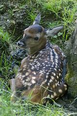 cucciolo di Cervo, Cervus elaphus, Red Deer cub (paolo.gislimberti) Tags: animals herbivores mammals mimicry animali ungulates mimetismo animalbehavior ungulati erbivori mammiferi comportamentoanimale