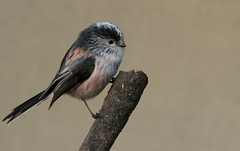 Long-tailed Tit (michael.smith86) Tags: