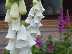 White Bells ! (Mara 1) Tags: flowers summer plants white garden outdoors purple foxgloves