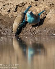 Southern Cordonbleu (Blue Waxbill) (karenmelody) Tags: bluewaxbill uraeginthusangolensis southerncordonbleu