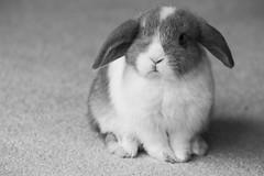 Strike A Pose (StevePilbrow) Tags: white black cute rabbit bunny feet carpet nikon soft sad looking jasmine january fluffy ears mini breed nikkor 70300mm lop bicester 2016 d3200 inexplore