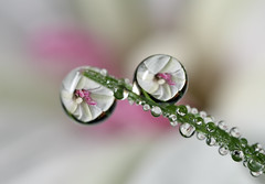 White Beauty (karthik Nature photography) Tags: flower nature water grass weather closeup garden dewdrops flickr dew refraction waterdrops naturephotography closeupphotography canonphotography gardenphotography canonmpe65 canon5dmark3