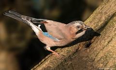 Jay (Crazybittern1) Tags: birds jay rspb leightonmoss nikond7100 nikon200500f56