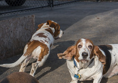 IMG_6170 (BFDfoster_dad) Tags: hound basset