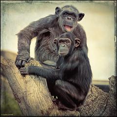 (2218) Bioparc Valncia (QuimG) Tags: naturaleza nature vintage natura olympus specialtouch chimpancs quimg quimgranell joaquimgranell afcastell obresdart bioparcvalncia
