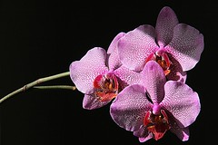 SONO IO / IT'S ME - EXPLORE #459. FEB 20.2016 (GIO_CRIS) Tags: explore feb orchidea 459 202016