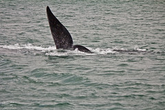 balena (marco.fanchini) Tags: africa nature water honeymoon natural natura whale sudafrica viaggiodinozze balena
