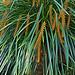 N20160126-0035—Dendrochilum wenzelii—UCBG