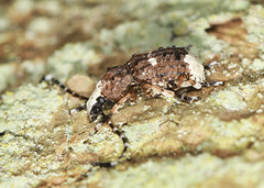 Fungus Weevil - Platystomos albinus (Prank F) Tags: macro nature closeup insect wildlife beetle fungus weevil wildlifetrust platystomosalbinus glapthorncowpastures northantsuk