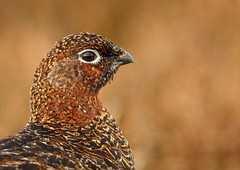 Red Grouse female portrait (Martial2010) Tags: red portrait female canon scotland angus grouse glen