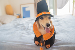IMG_3251 (yukichinoko) Tags: dog halloween dachshund 犬 kinako ハロウィン ダックスフント ダックスフンド きなこ