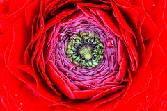Fotolifting+HandMade (danilina_ekaterina2) Tags: red flower macro nature canon photo ranunculus decor 60d