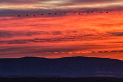 Sand Hill Cranes (inlightful) Tags: sunset orange sun newmexico birds sunrise dawn dusk cranes badlands sandhillcranes flyingbirds quebradas