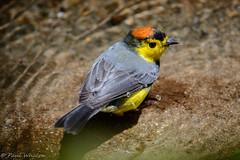 Collared Redstart [Myioborus torquatus] (Paul Whalen) Tags: panama guadalupe collaredredstart myioborustorquatus losquetzaleslodge triptovolcan