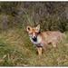 Fox  -  Vos   (Fulpes fulpes)