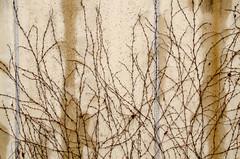 DSC_0495 (adrizufe) Tags: wall pared nikon ngc enredadera humedad verticalidad nikonstunninggallery aplusphoto izurtza d7000 adrizufe adrianzubia