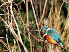 ijsvogeltje / kingfisher (vanderven.patrick) Tags: bird nature nikon outdoor wildlife natuur kingfisher nikkor vogel 70300 d60 ijsvogel