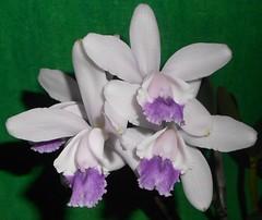 Cattleya intermedia var. coerulea (ak.sky13) Tags: blue white orchid f orchidaceae cattleya species var intermedia caerulea fma bluish coerulea bifoliate laeliinae