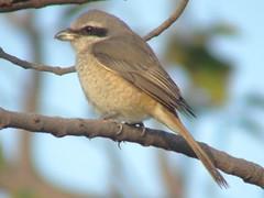 Resting (CharlesLam) Tags: bird taiwan laniusschach longtailedshrike kclama