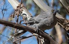 grey currawong (Strepera versicolor)-2380 (rawshorty) Tags: birds australia canberra act rawshorty
