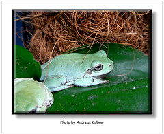 Litoria caerulea (3) (Vogelfoto69) Tags: nature natur frog frogs nrw frosch terrarium caerulea frsche amphibien naturfreund litoria naturschutz nabu naturfoto terraristik korallenfinger naturfilm naturdokumentation naturfilmer naturfotograph andreaskalbow