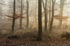 Lost in the wood (Stuart_East) Tags: park mist leaves misty fog forest sunrise woodland sussex march estate foggy beech angmering