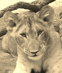 Beautiful young lion (Mango*Photography) Tags: light lion seppia