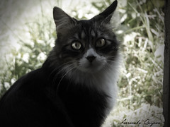 Cat (FN 12) Tags: animal cat ojo eyes flickr natura gato estrellas mirada mascota intenza