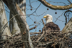 Baby Sitting (from our view) Tags: blue tree eye home march sticks nikon nest bright branches baldeagle parent sycamore limbs babysitting nikkor twigs 2016 d810