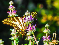 Western Tiger Swallowtail Butterfly Inceville Los Liones Canyon  1000 (pekabo90401) Tags: canon insect butterflies purplesage salvialeucophylla papiliorutulus loslionescanyon losliones sx60 westerntigerswallowtailbutterfly inceville pekabo90401 canonsx60