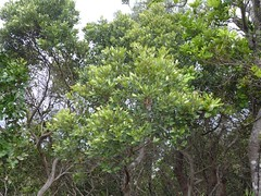Cryptocarya ? (tanetahi) Tags: panorama beach landscape coast rainforest view nsw newsouthwales seashore byronbay headland littoral capebyron northernriversregion