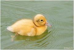 geel eendenkuiken (HP009320) (Hetwie) Tags: bird nature duck nederland natuur chicks mallard vogel vijver noordbrabant helmond wildeeend watervogel wijkpark brouwhuis eendjeskuiken