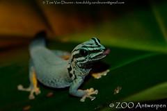 Azuurblauwe daggekko - Lygodactylus williamsi - Turquoise Dwarf Gecko (MrTDiddy) Tags: zoo blauw dwarf reptile turquoise gecko antwerp dag blauwe antwerpen zooantwerpen gekko reptiel williamsi lygodactylus azuur daggekko reptiian azuurblauwe