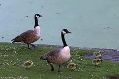 Canada goose (Rick & Bart) Tags: bird canon spring bruxelles waterbird goose brussel canadagoose leopoldpark canadesegans rickbart thebestofday gnneniyisi parclopold rickvink eos70d