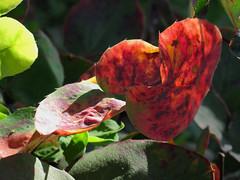 Reddish Leafy Thing (Robb Wilson) Tags: nature losangeles downtownla grandpark freephotos reddishplant