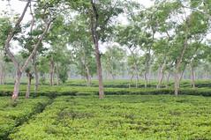 Srimangal, Sylhet Division (তামিজ - Tamiz) Tags: srimangal sylhetdivision