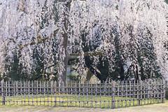 2016 Spring Season Tour Of Kyoto (caz76KOBE) Tags: japan canon landscape eos spring kyoto   cherryblossoms nationalgarden   kyotogyoen ef100mm  eos6d kyotogyoennationalgarden ef100mmf28lmacroisusm ef100mmf28lmacrois 2016spring 2016kyoto 2016caz76