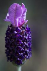 Lavender (Dave Edens) Tags: flower macro nature backyard lavender